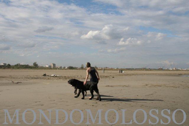 cane corso mastino napoletano