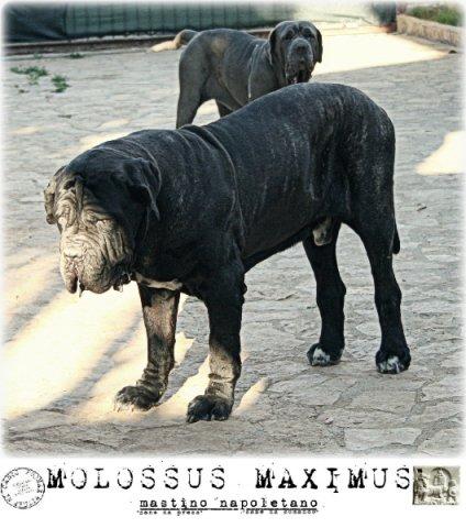 molossi-e-molossus-3