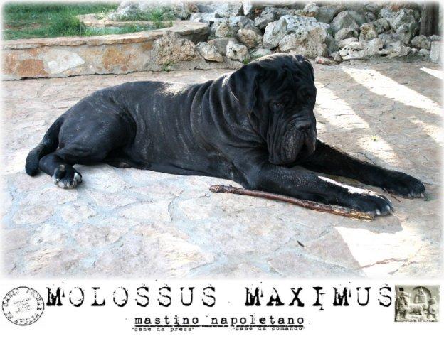 molossi-e-molossus-4