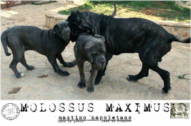 molossi-e-molossus-7