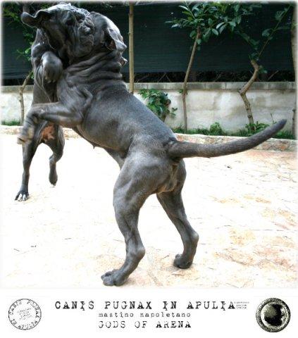 neapolitan-mastiff-marte-1