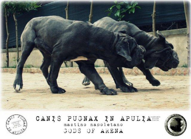 neapolitan-mastiff-marte-10
