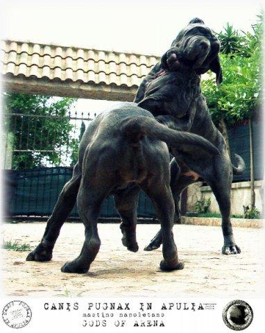 neapolitan-mastiff-marte-12