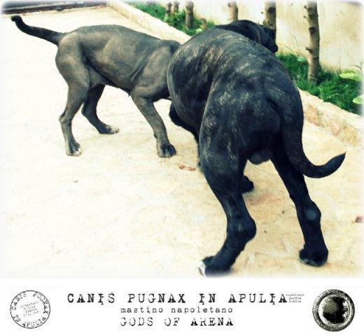 neapolitan-mastiff-marte-13