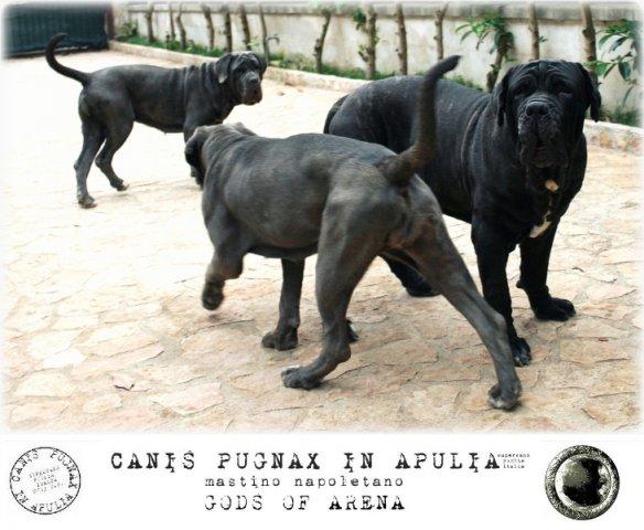 neapolitan-mastiff-marte-14