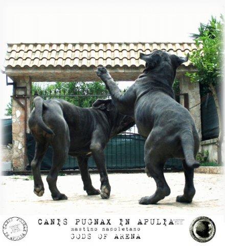 neapolitan-mastiff-marte-21