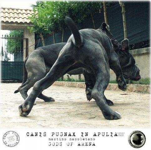 neapolitan-mastiff-marte-4