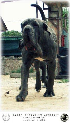 neapolitan-mastiff-marte-5