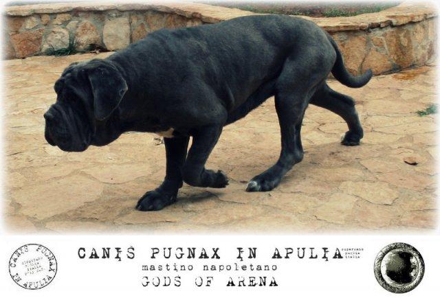 neapolitan-mastiff-marte-7