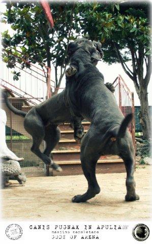 neapolitan-mastiff-marte-8