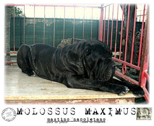 molossus-maximus-2