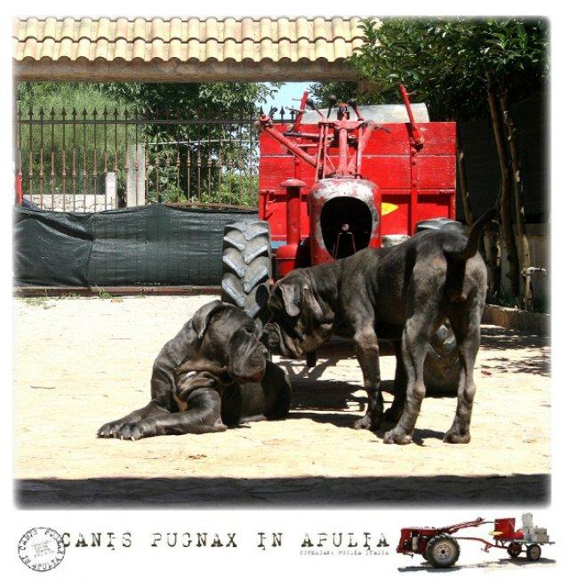 neapolitan-mastiff-salento-3_0