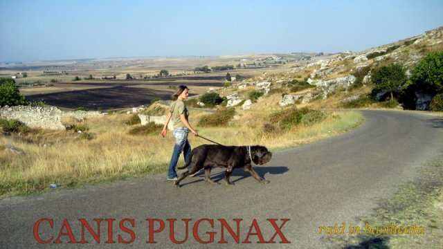 neapolitan mastiff raid