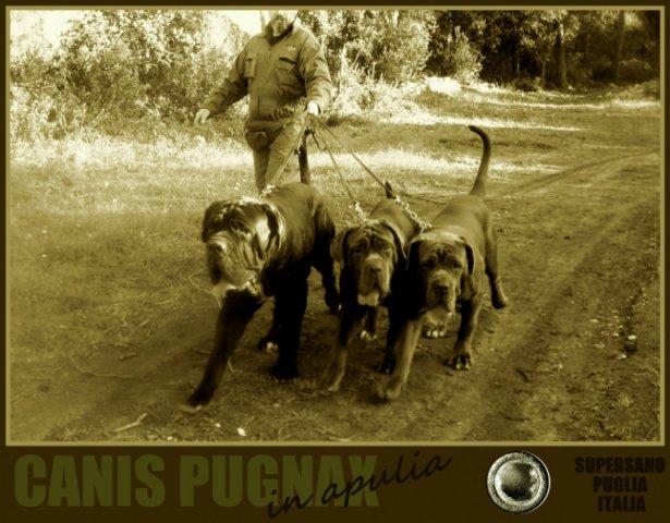 1-canis-pugnax