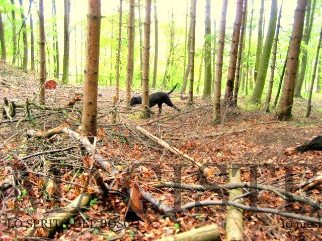 mastino napoletano il bosco reale