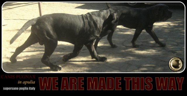 neapolitan-mastiff-power