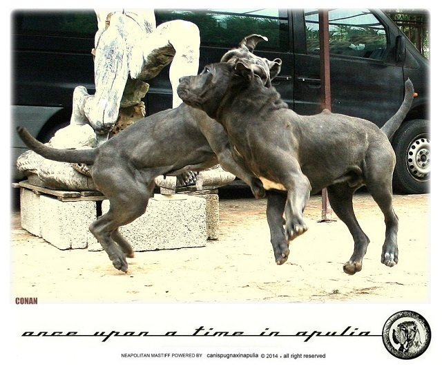 canis-pugnax-in-apulia-11