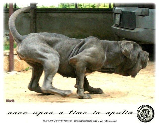 canis-pugnax-in-apulia-14