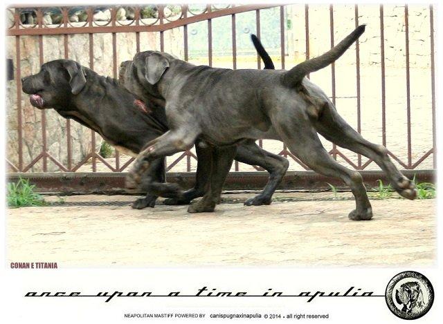 canis-pugnax-in-apulia-15