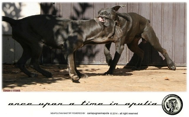 canis-pugnax-in-apulia-16
