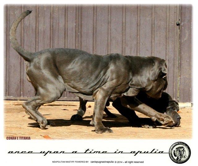 canis-pugnax-in-apulia-17