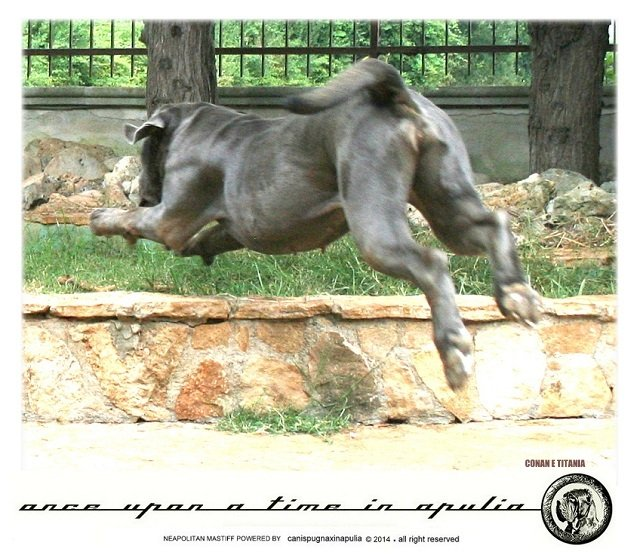 canis-pugnax-in-apulia-2
