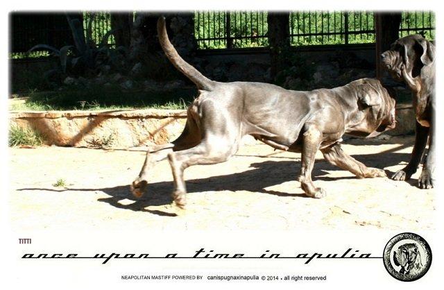 canis-pugnax-in-apulia-21