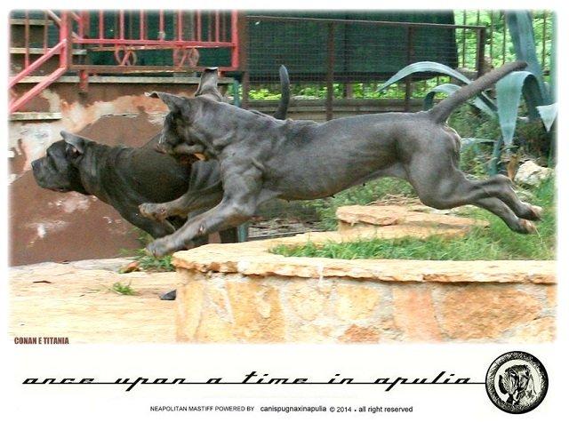 canis-pugnax-in-apulia-3