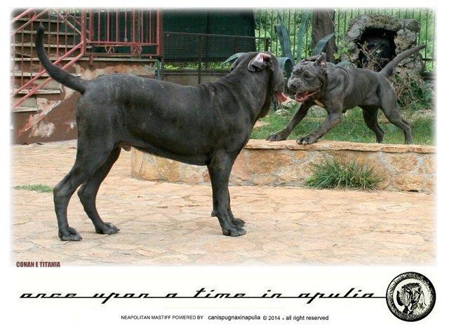 canis-pugnax-in-apulia-5