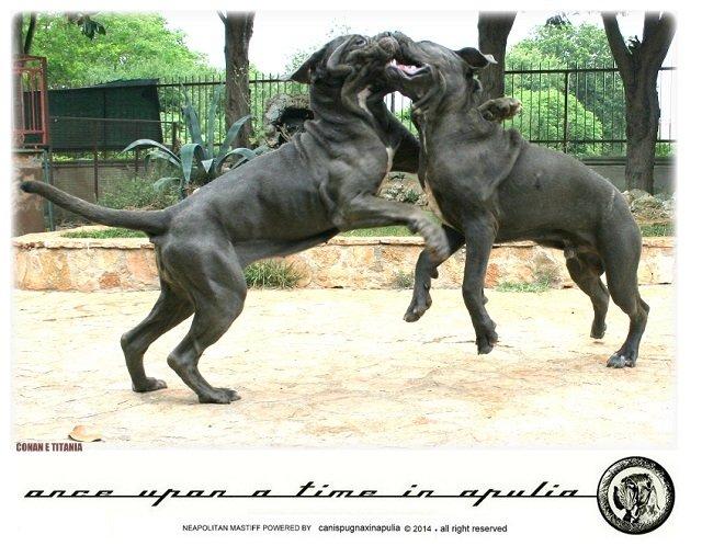 canis-pugnax-in-apulia-6