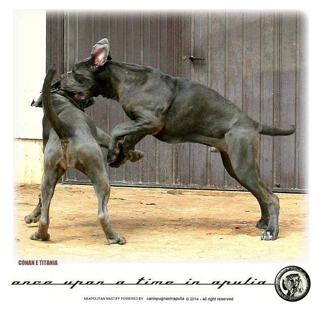 canis-pugnax-in-apulia-7