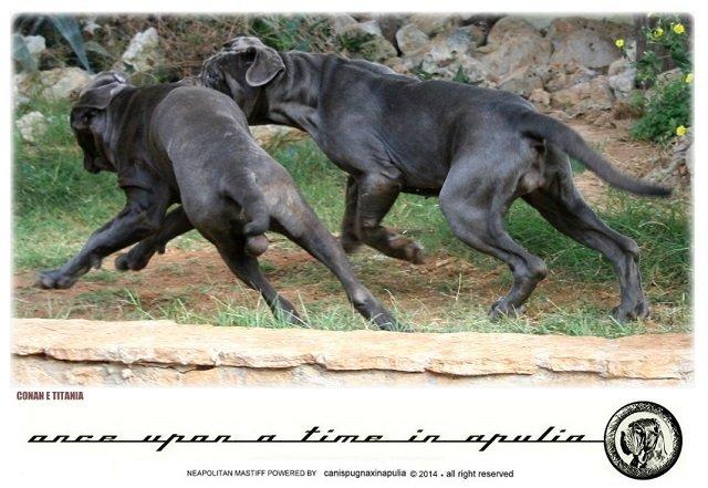 canis-pugnax-in-apulia-8