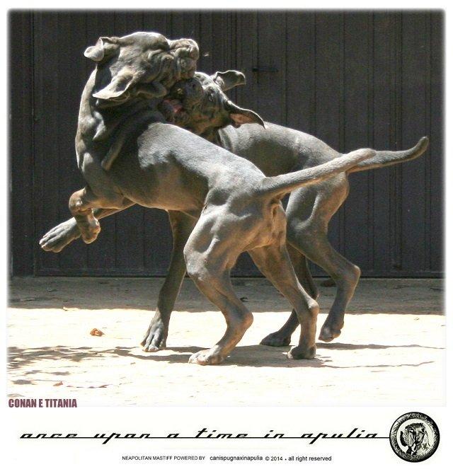 canis-pugnax-in-apulia