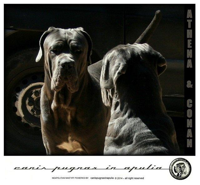 canis-pugnax-espressione-fiera-e-antica