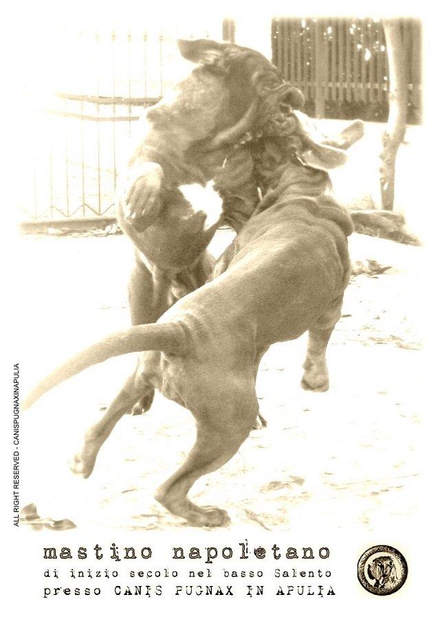 mastino-napoletano-di-inizio-secolo-nel-basso-salento-presso-canis-pugnax-in-apulia-2