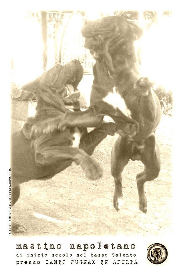 mastino-napoletano-di-inizio-secolo-nel-basso-salento-presso-canis-pugnax-in-apulia-3