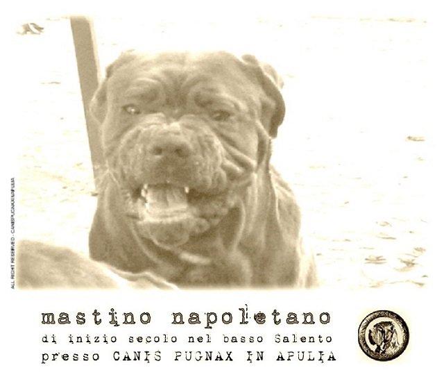mastino-napoletano-di-inizio-secolo-nel-basso-salento-presso-canis-pugnax-in-apulia-4