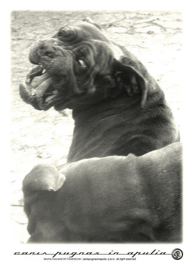 mastini-napoletani-senza-mai-prescindere-dal-cane-1
