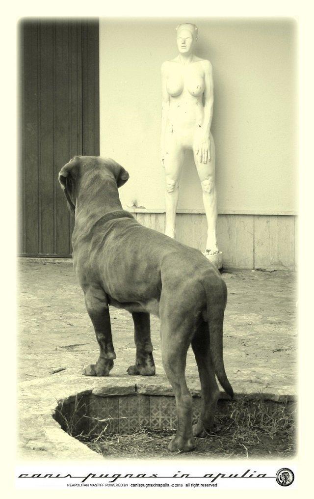 mastini-napoletani-senza-mai-prescindere-dal-cane-11