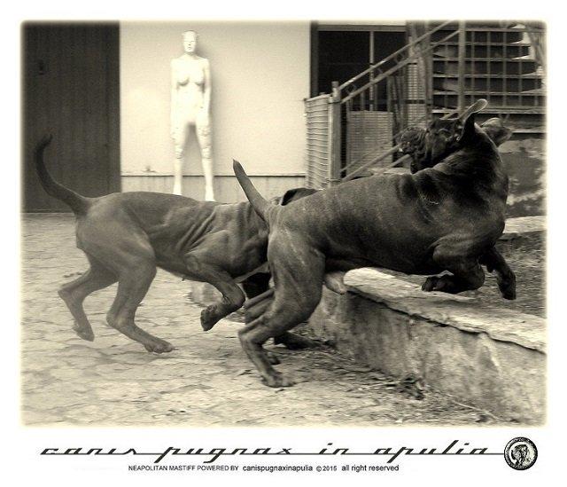mastini-napoletani-senza-mai-prescindere-dal-cane-3