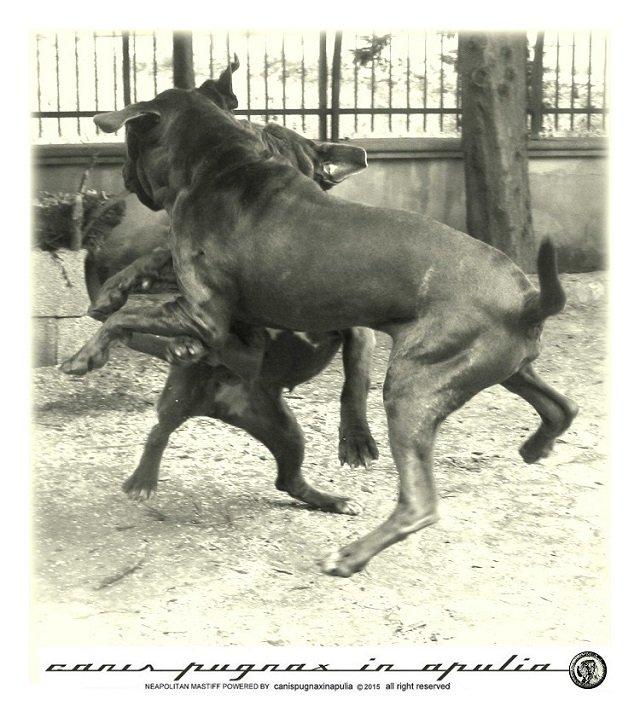 mastini-napoletani-senza-mai-prescindere-dal-cane-5