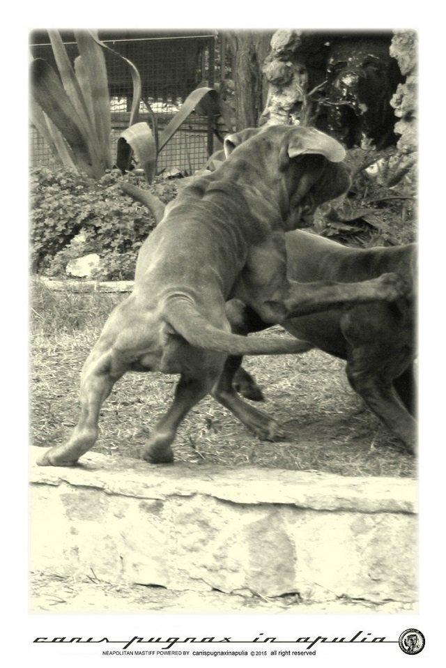 mastini-napoletani-senza-mai-prescindere-dal-cane-6