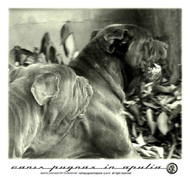 mastini-napoletani-senza-mai-prescindere-dal-cane-7