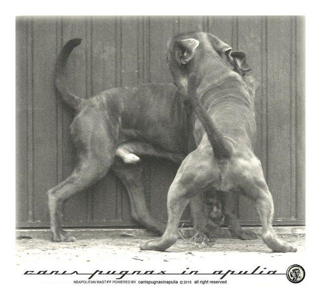 mastini-napoletani-senza-mai-prescindere-dal-cane-8