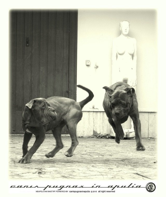 mastini-napoletani-senza-mai-prescindere-dal-cane-9