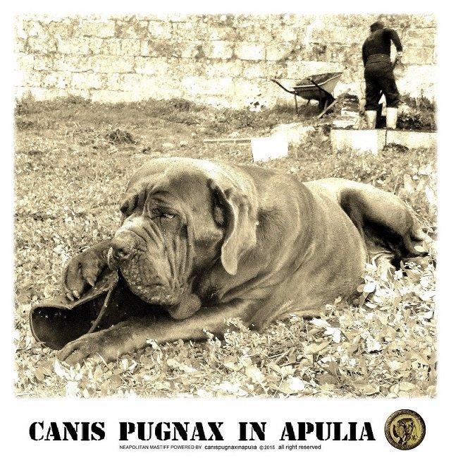 canispugnax-3