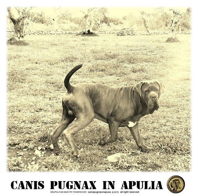 canispugnax-4