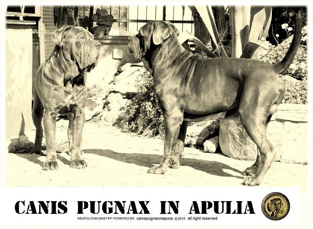 old-types-neapolitan-mastiff-8