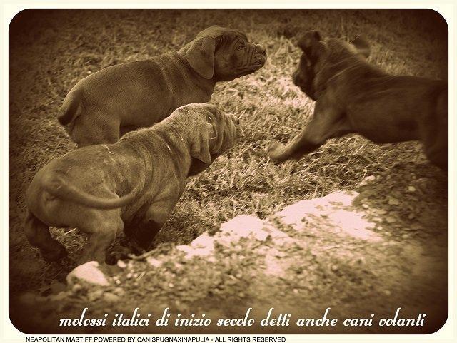 molossi-italici-8