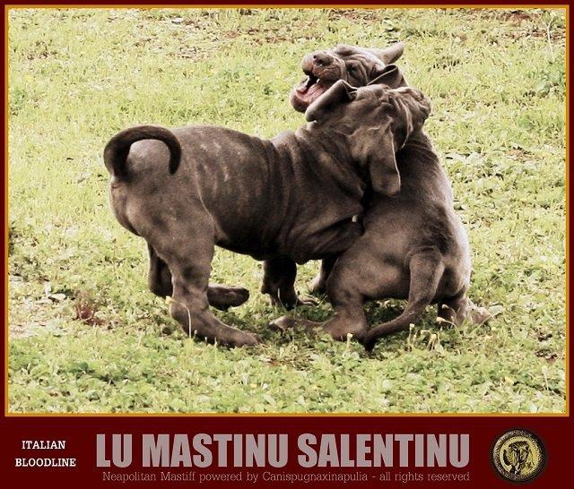 lu-mastinu-salentinu-11
